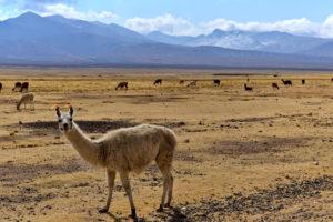 Bolivia State Street 1 lama - Poopo Bolivia mine authentic city workers life - Bolivia Travel Tips