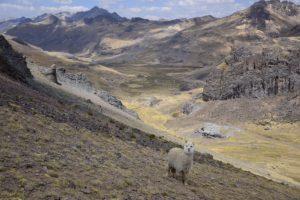 Alpacas in Peru