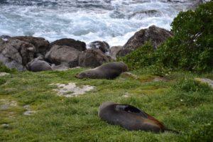Seals at Cape Palliser New Zealand