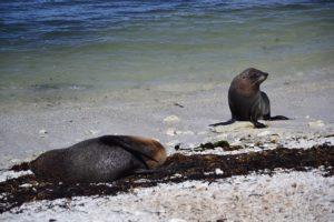 Seal colony at Kaikoura New Zealand