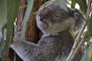 Koalas Brisbane Lone Pine Koala Sanctuary