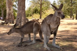 kangaroo Brisbane Lone Pine Koala Sanctuary