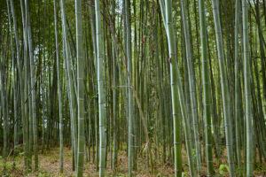 Chikurin-no Komichi Japan Bamboo Bambushain