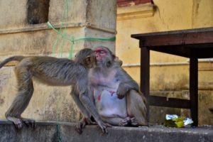 Monkeys at Mount Popa Myanmar Burma