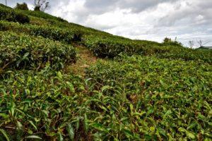 Tea plants Malaysia Cameron Highlands - Reisetipps für Malaysia
