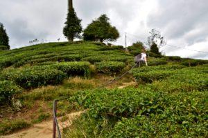 BOH Tea Estate Malaysia Cameron Highlands - Reisetipps für Malaysia