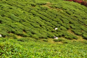 BOH Tea Estate Malaysia - Shiva at batu cave - Reisetipps für Malaysia