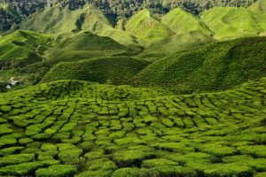 Tea plantage Cameron Highlands Malaysia - Malaysia Travel Tips