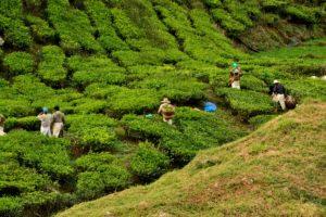Tea plantage Cameron Highlands Malaysia