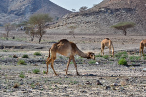 United Arab Emirates camels on the road circles