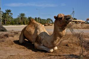 Royal Camel Farm Bahrain Manama