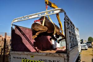Al Ain Camel Market United Arab Emirates Vereinigte Arabische Emirate Kamelmarkt Al Ain